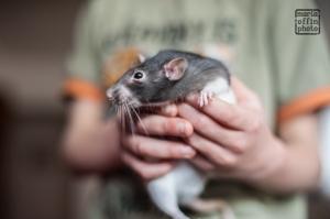 Rowan rat